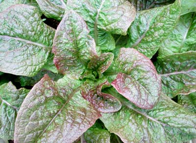 "Cracoviensis lettuce, or ""red celtuce"" Credit Southern Exposure Seed Exchange"
