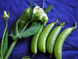 Sugar Ann snap peas. Photo credit Southern Exposure Seed Exchange