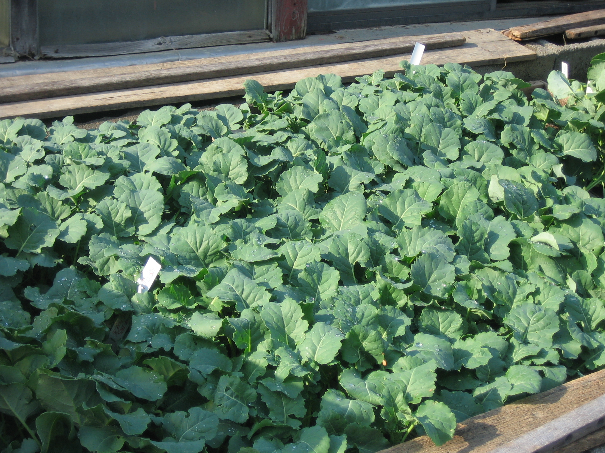 Flats of broccoli seedlings in our cold frame. Photo Kathryn Simmons