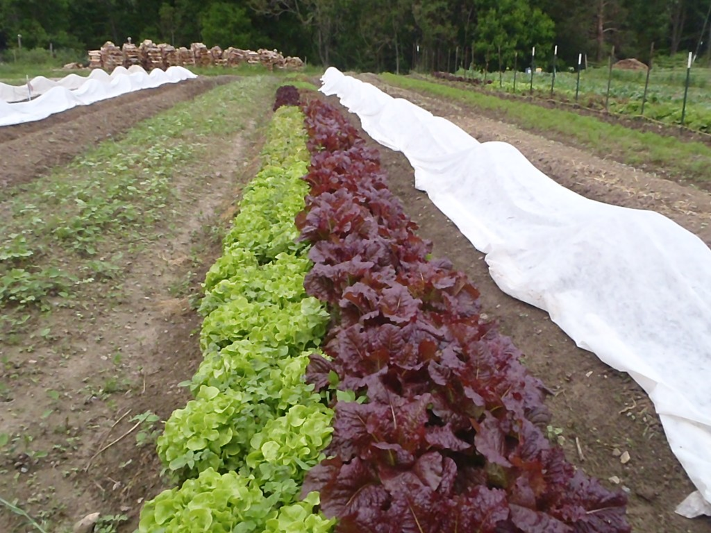 Spring lettuce bed. Photo Wren Vile