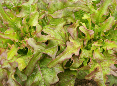 Bronze Arrow lettuce. Photo by Southern Exposure Seed Exchange