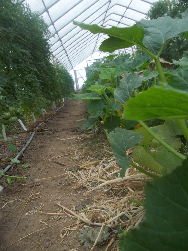 Hoophouse tomatoes and trellised gherkins. Photo Nina Gentle