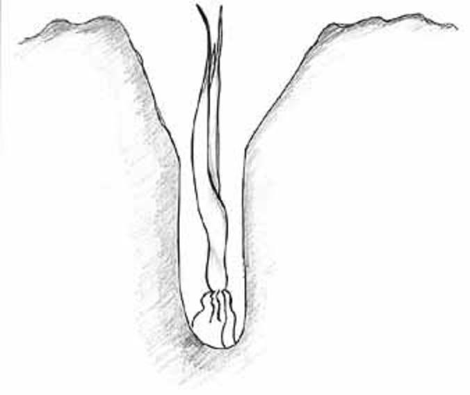 Leek planting diagram. Pam Dawling