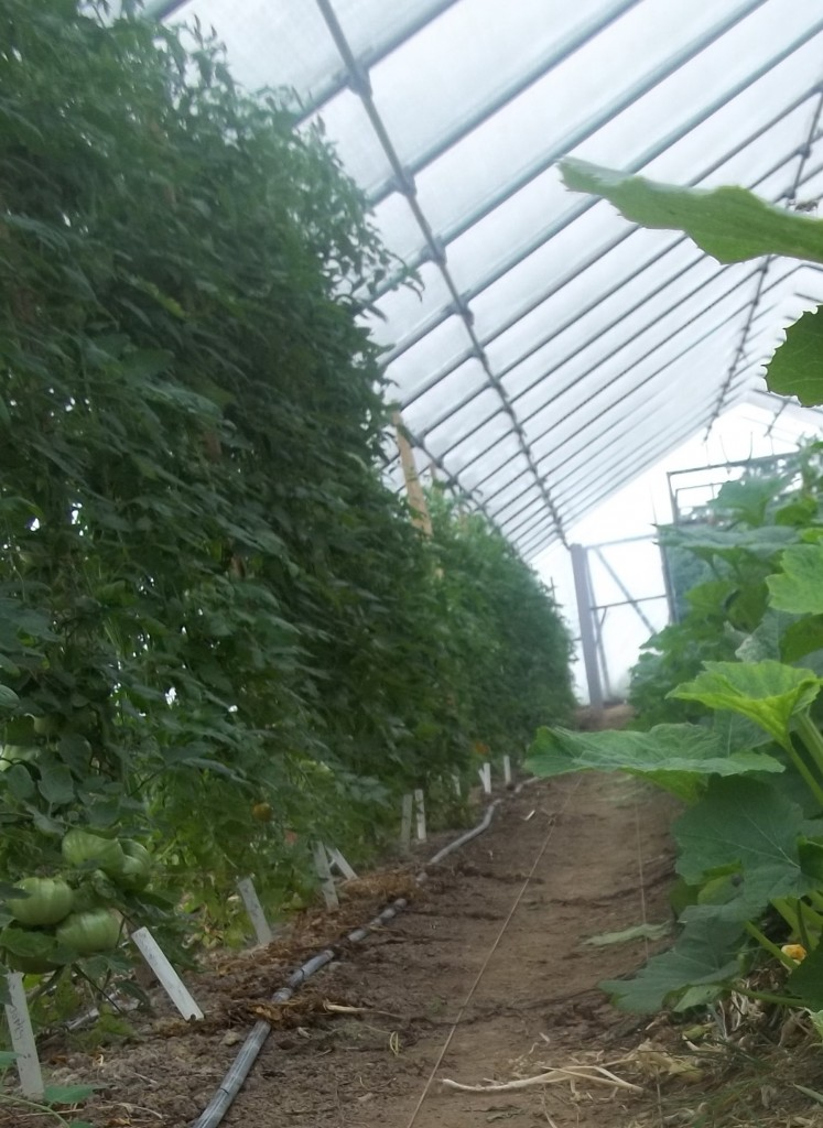 Hoophouse tomatoes at full height. Photo Nina Gentle