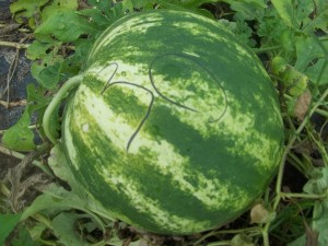The 30th watermelon selected for seed, marked with a grease pencil. Photo Nina Gentle