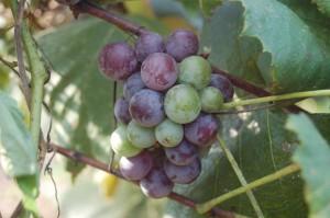 Ripening Concord grapes. Photo Kati Falger