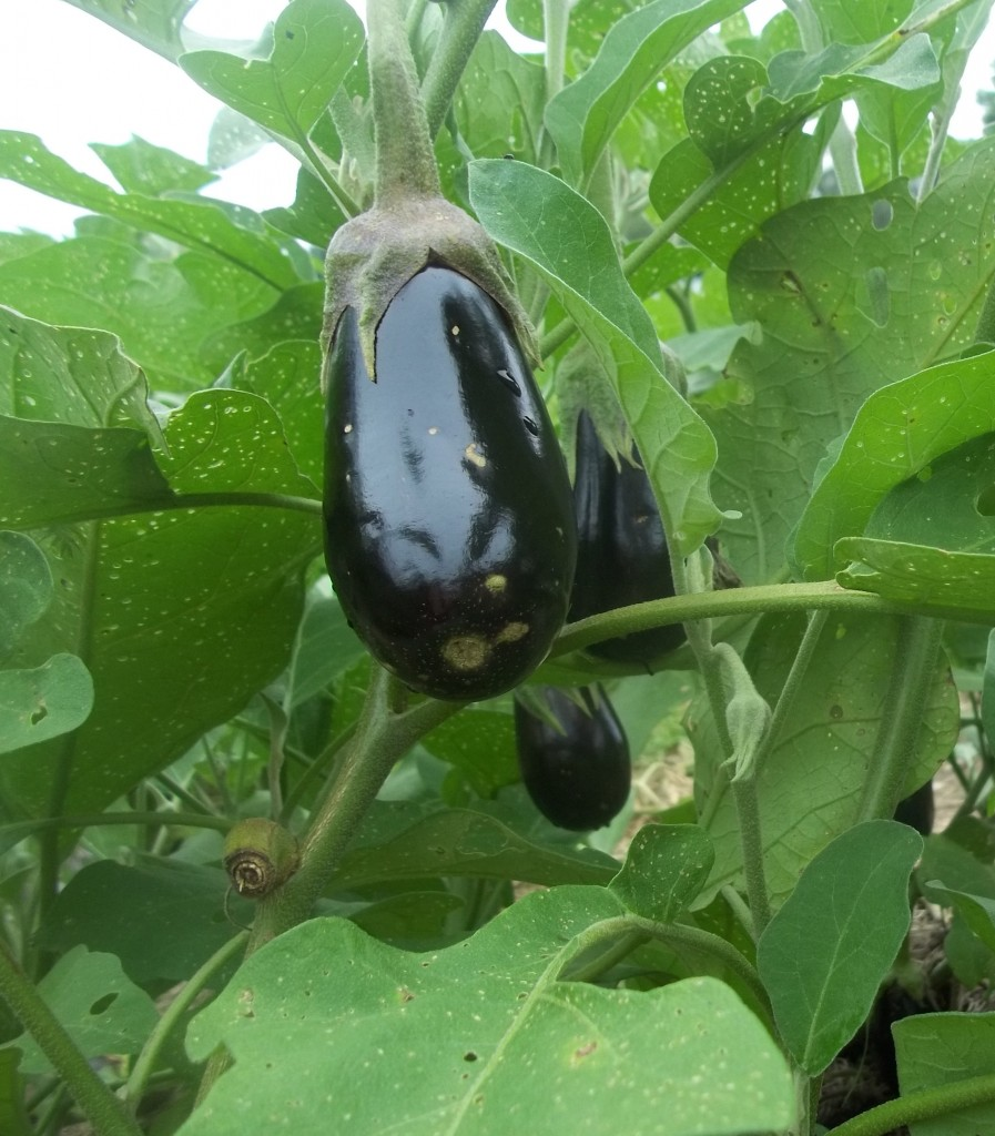 Traviata eggplant Photo by Nina Gentle