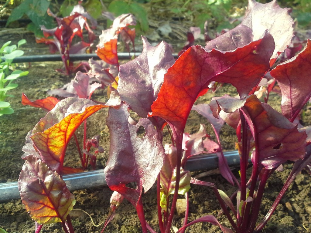 Bulls Blood beets add intense color to salad mixes. Photo Wren Vile