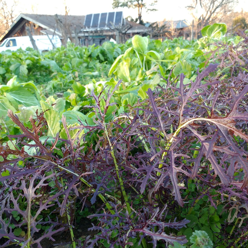 Winter salad crops: Ruby Streaks. Photo McCune Porter