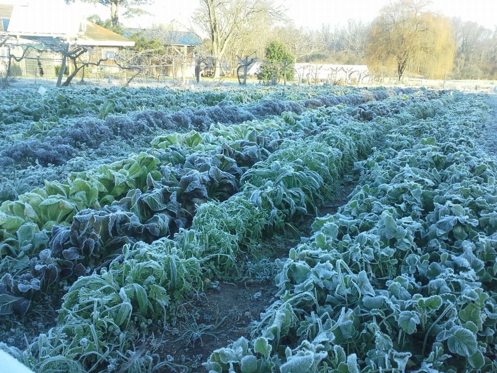 Eat-All Greens rows with frost in December. Photo Bridget Aleshire