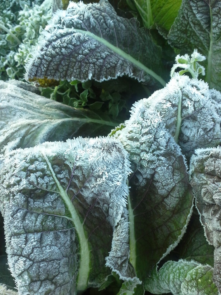 Eat-all greens: frosty Red Giant Mustard in December. Photo Bridget Aleshire
