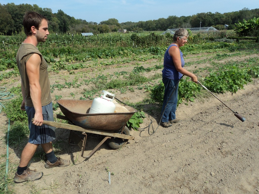 We use flaming to kill quick germinating weeds in our carrot beds. Photo by Brtitany Lewis