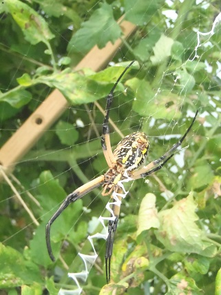 A zipper spider on a tomato plant, catching anything that lands on its web. Photo Wren Vile