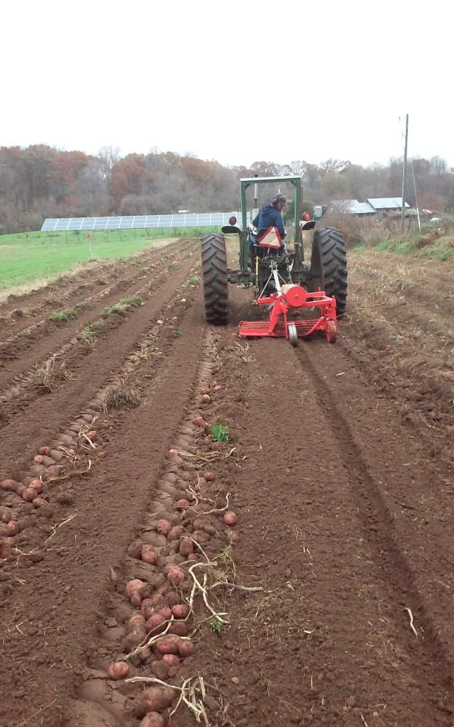 Potato harvest in November Photo by Lori Katz