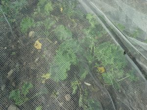 ProtekNet over kale transplants in August. Photo by Bridget Aleshire