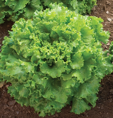 Star Fighter lettuce. Photo Johnnys Selected Seeds