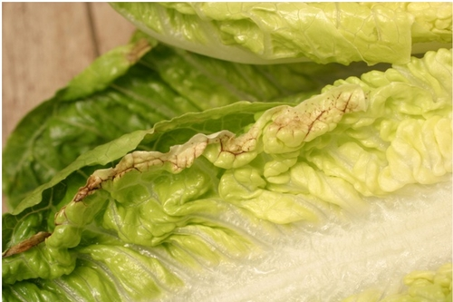 Tipburn on lettuce. Photo Salinas Valley Agriculture