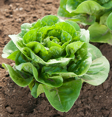 Green Forest romaine lettuce. Photo by Johnnys Seeds