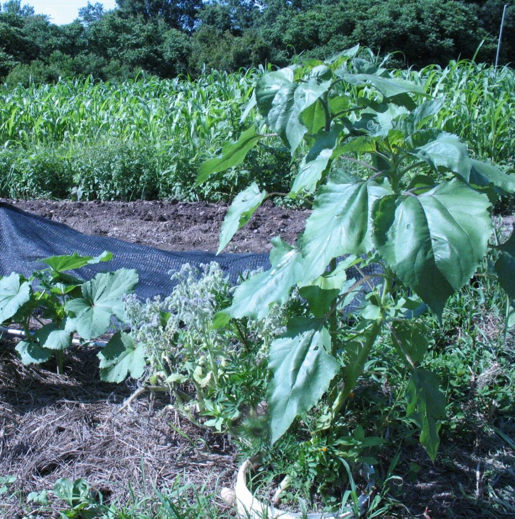 Insectary circle in an okra bed. Photo by Bridget Aleshire