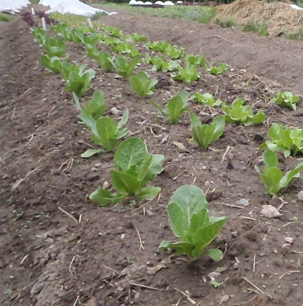 Bed of young Green Forest lettuce. Photo by Wren Vile