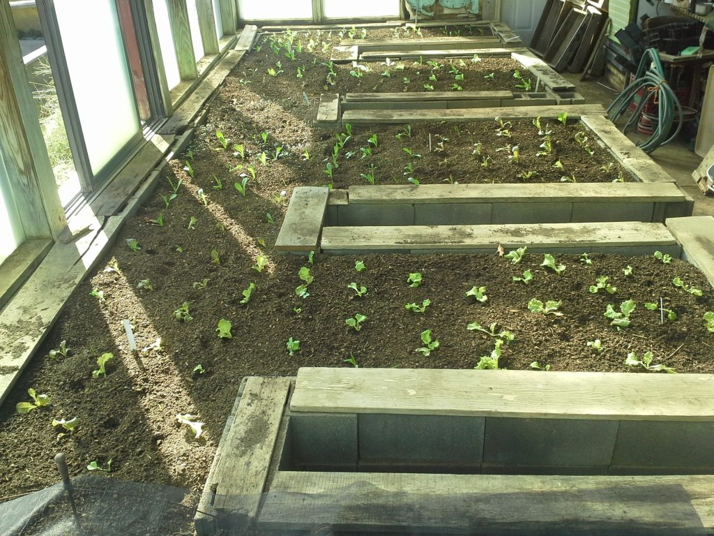 Young lettuce plants in greenhouse beds in October. Photo by Bridget Aleshire