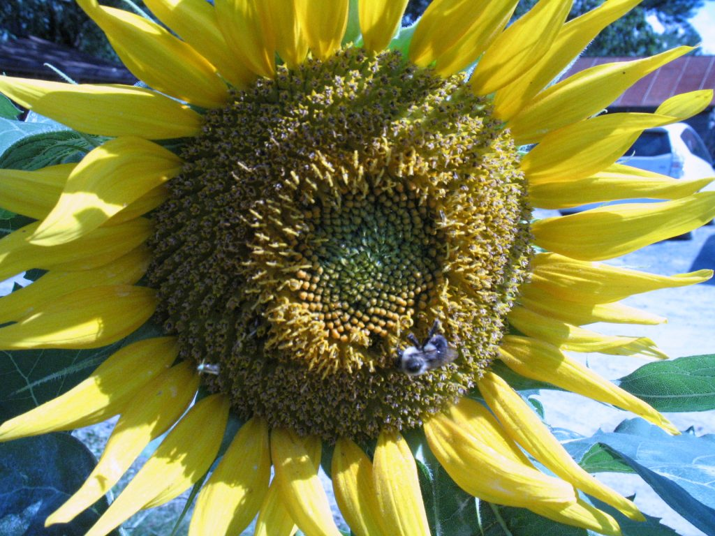 Sunflower bee and bug. Photo by Bridget Aleshire