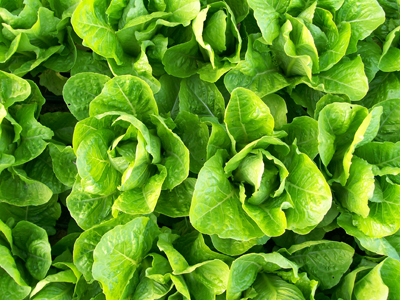Jericho lettuce, a heat-resistant romaine. Photo by Southern Exposure Seed Exchange