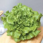 Concept Batavian lettuce Photo Johnnys Seeds