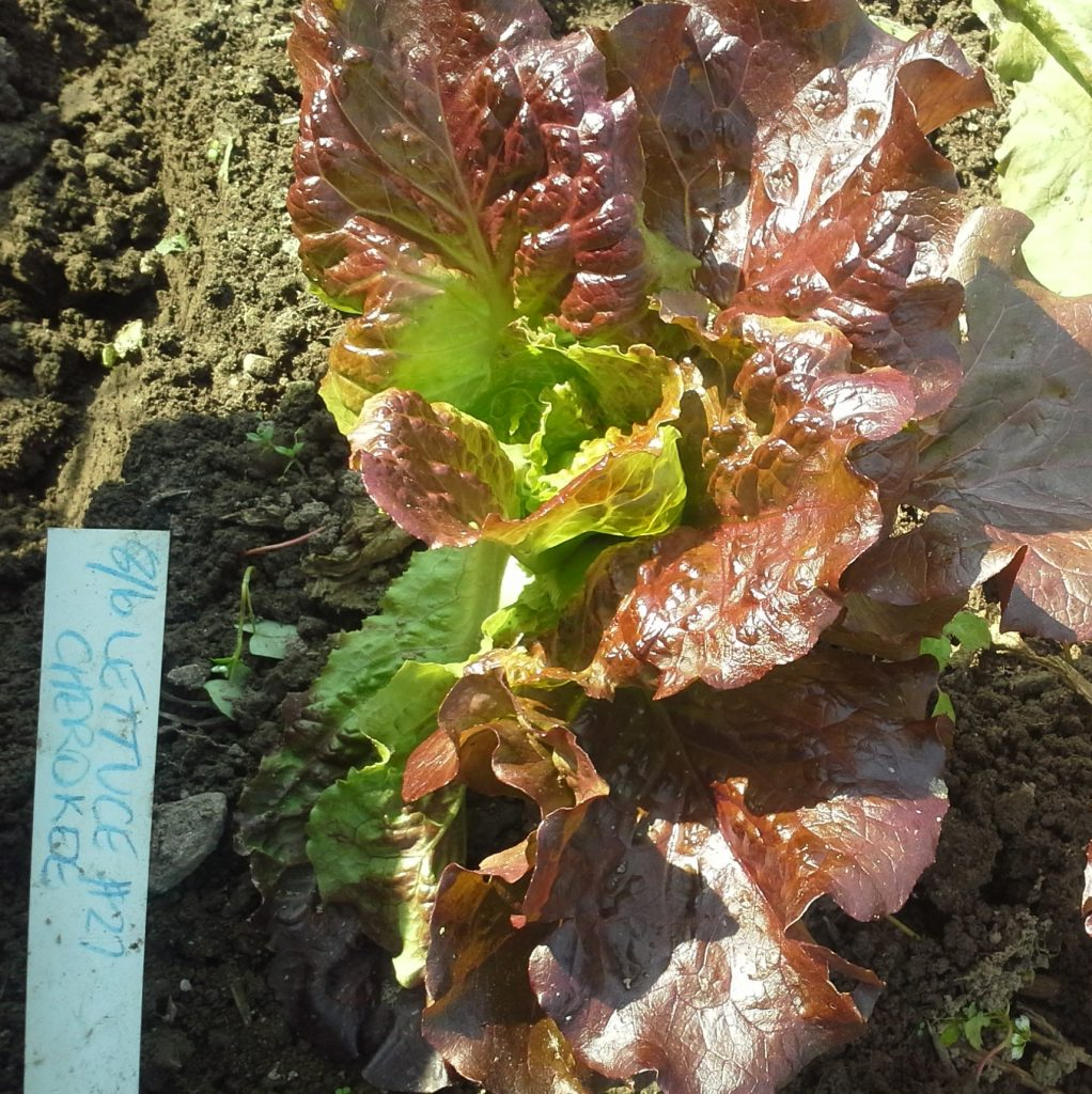 Cherokee Red Batavian lettuce sowed in August. Photo Bridget Aleshire