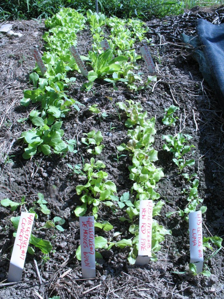 Better Times: Lettuce Seedbed with Concept, De Morges Braun, New Red Fire and Loma lettuces. Photo Bridget Aleshire,