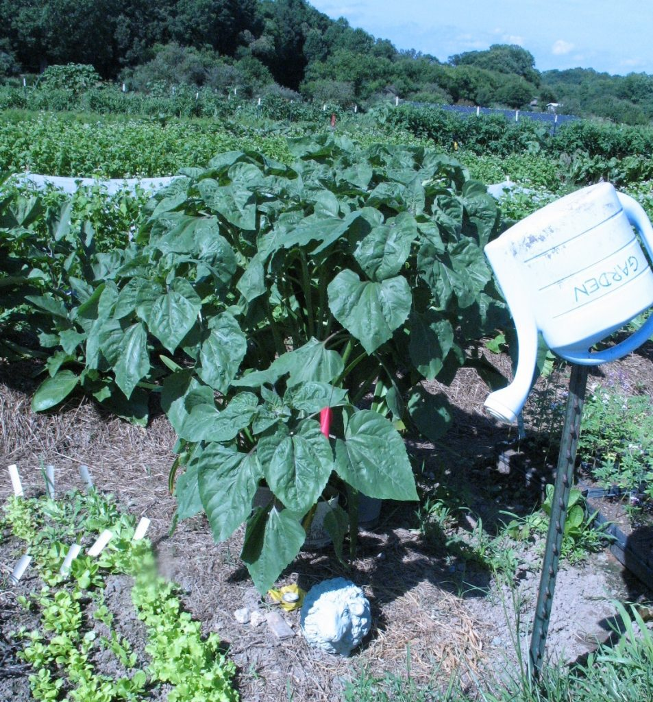 Lettuce seedbed. Photo by Bridget Aleshire