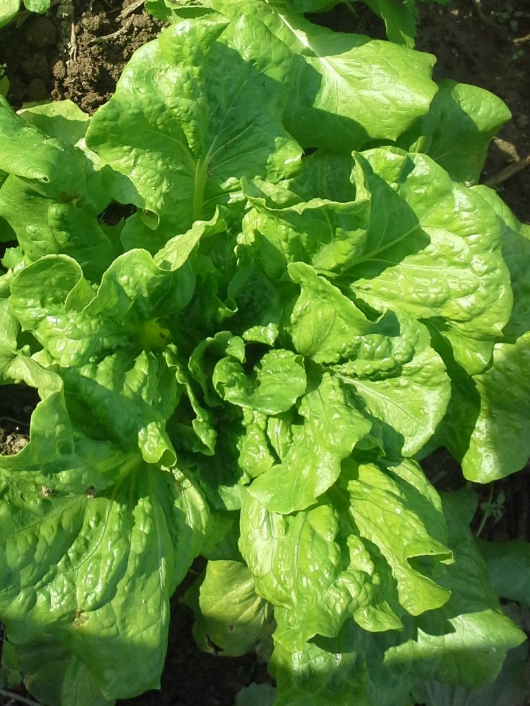 Young Sierra lettuce. Photo Bridget Aleshire