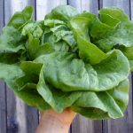Anuenue Bataviasn letuce. Photo Southern Exposure Seed Exchange