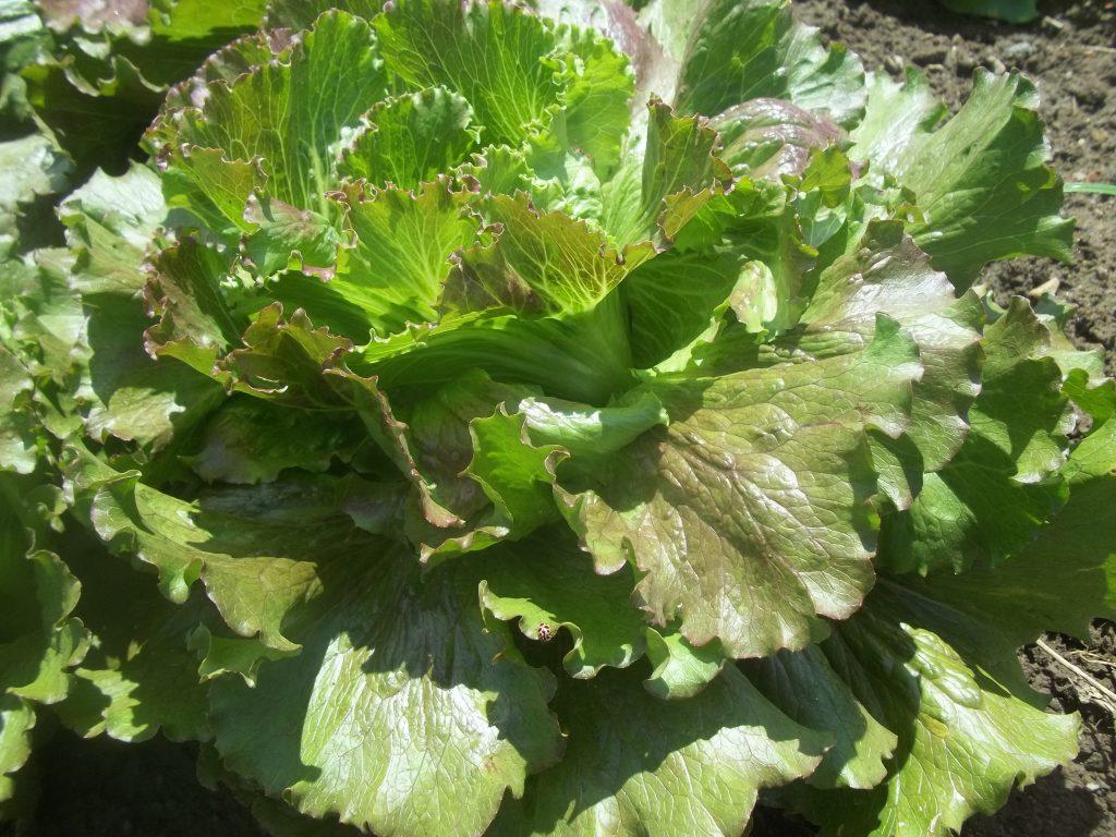 Pablo Batavian lettuce Photo Nina Gentle