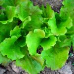 Sierra Batavian lettuce. Photo Southern Exposure Seed Exchange