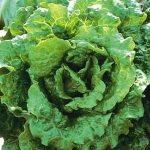 Nevada Batavian lettuce. Photo Swallowtail Garden Seeds