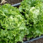 Loma Batavian lettuce. Photo Southern Exposure Seed Exchange