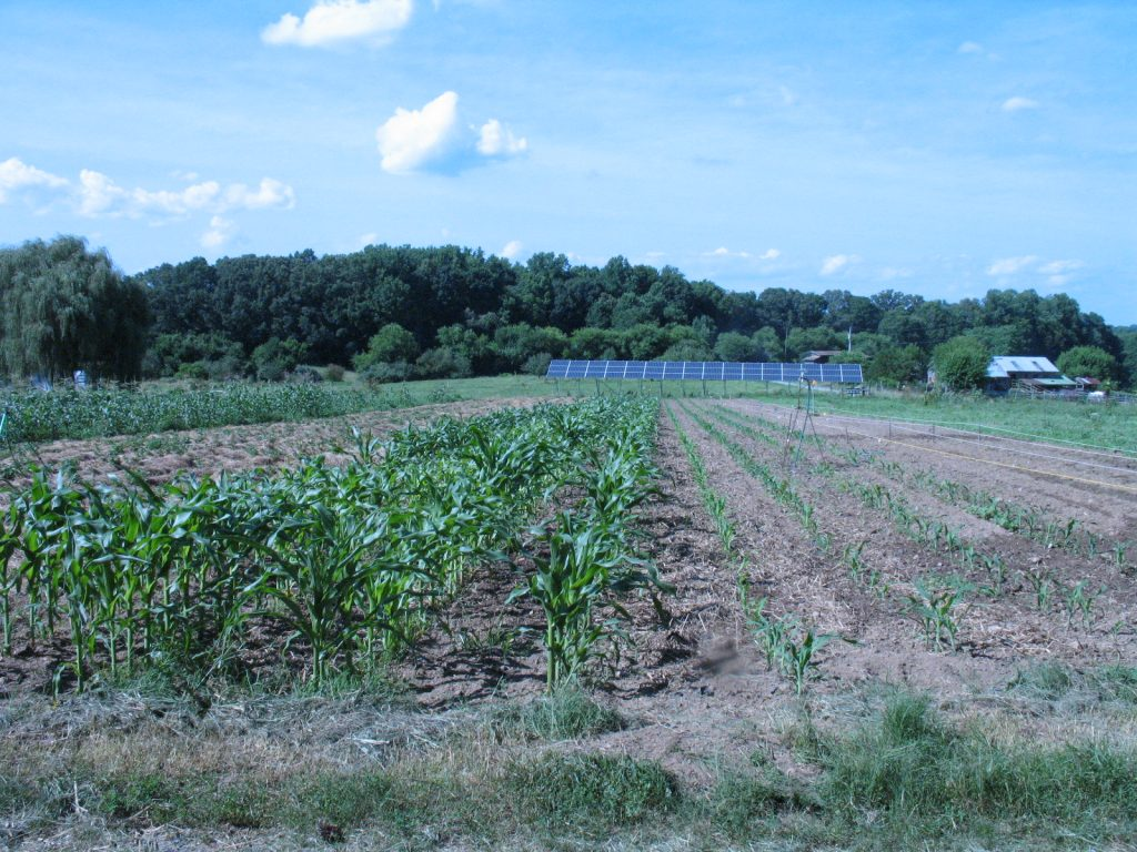 Sweet corn plantings 3, 4 and 5 (left to right, 4 rows of each) earlier this summer. Photo by Bridget Aleshire