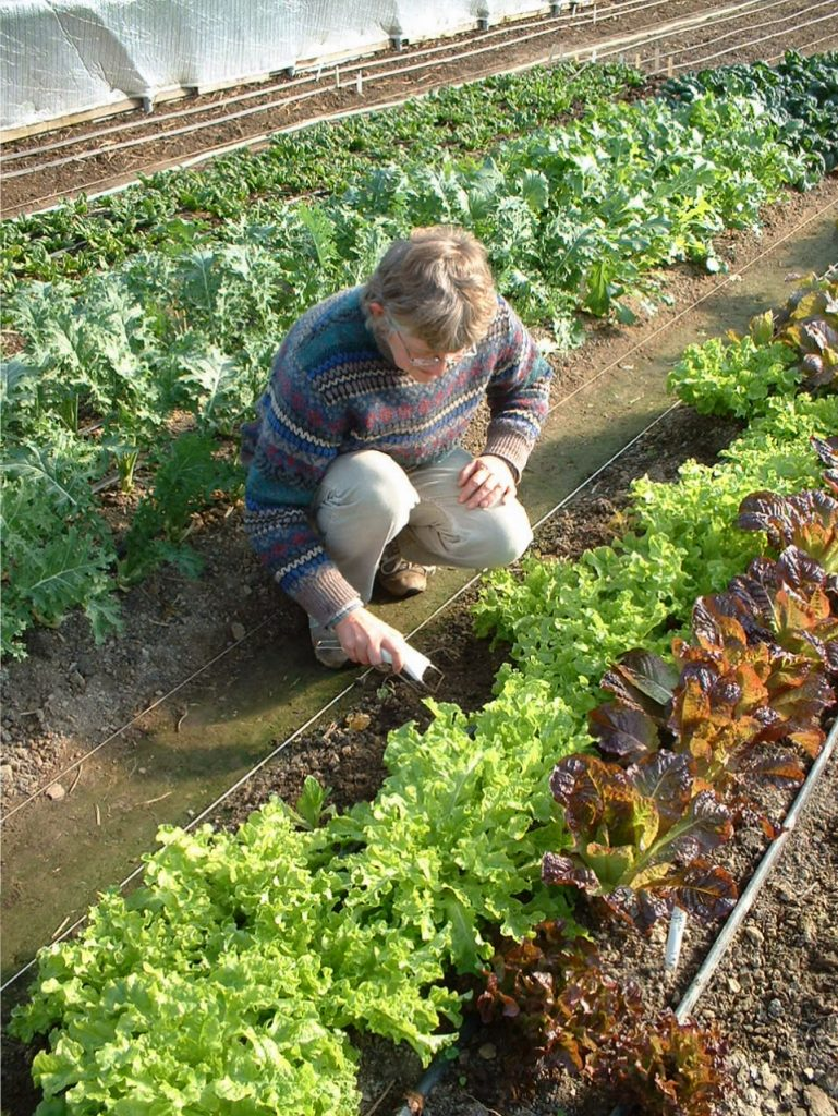 sowing lettuce for planting in the unheated greenhouse