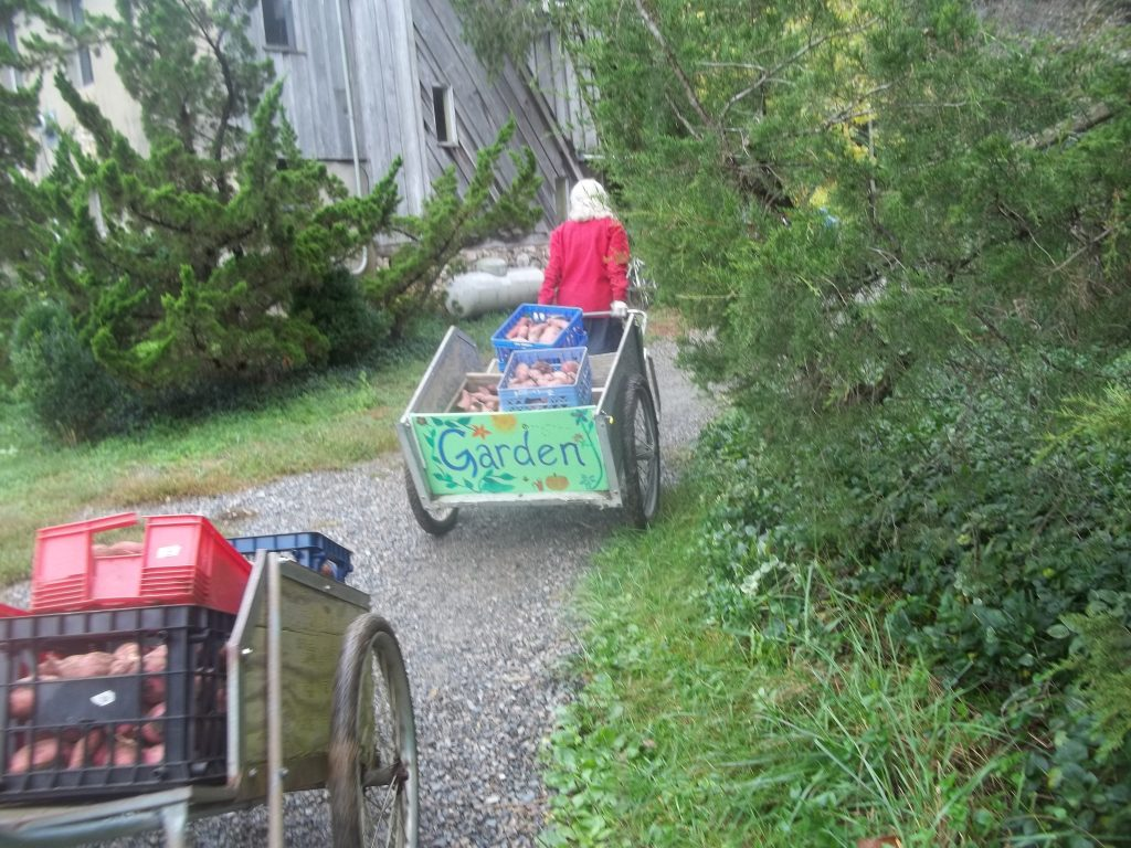 Sweet potato harvest with carts. Usually we use a truck! Photo Nina Gentle