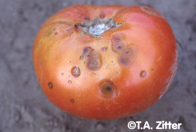 Water-soaked circular sunken spots of anthracnose (Colletotrichum coccodes) usually appear on the shoulders of mature fruit. Photo courtesy of T.A. Zitter, Cornell University, Ithaca, NY
