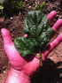 Avon spinach and purple-handed gardener. Photo Fedco Seeds