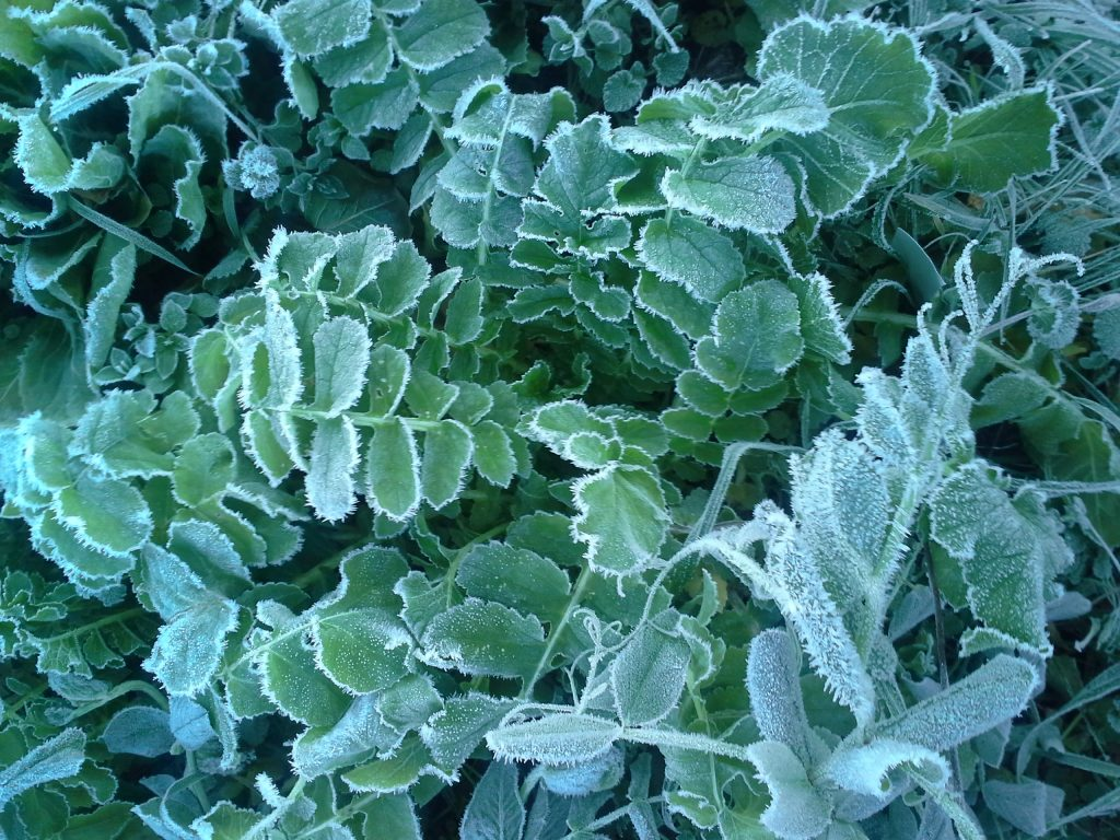 Frosty daikon leaves. Photo Bridget Aleshire