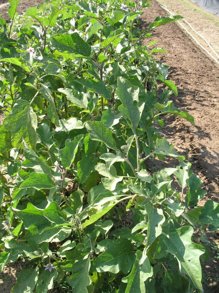 Eggplant row. Bridget Aleshire