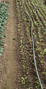Lettuce mix seedlings Photo Ethan Hirsh