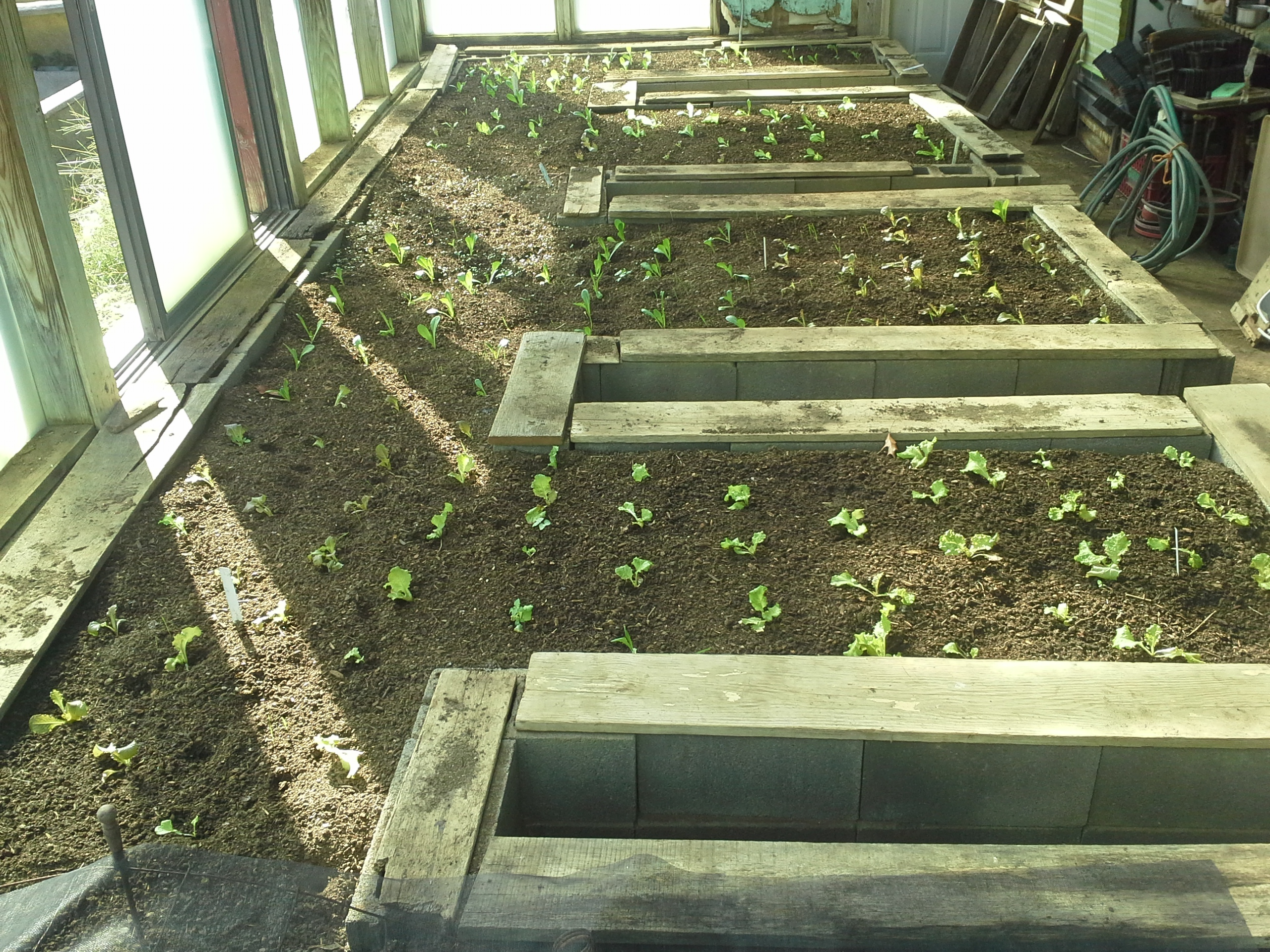 Greenhouse with young Lettuce transplants in early October. Photo Wren Vile