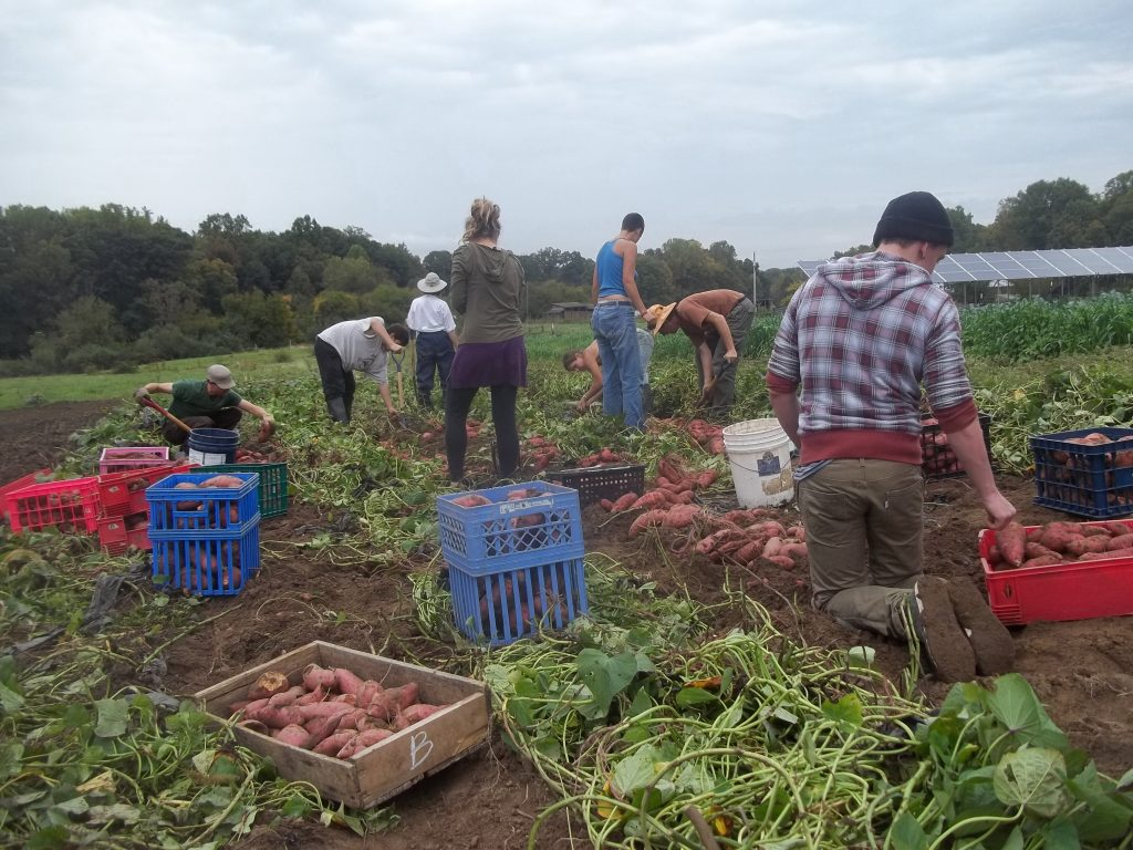 Sweet potato harvest. Photo Nina Gentle