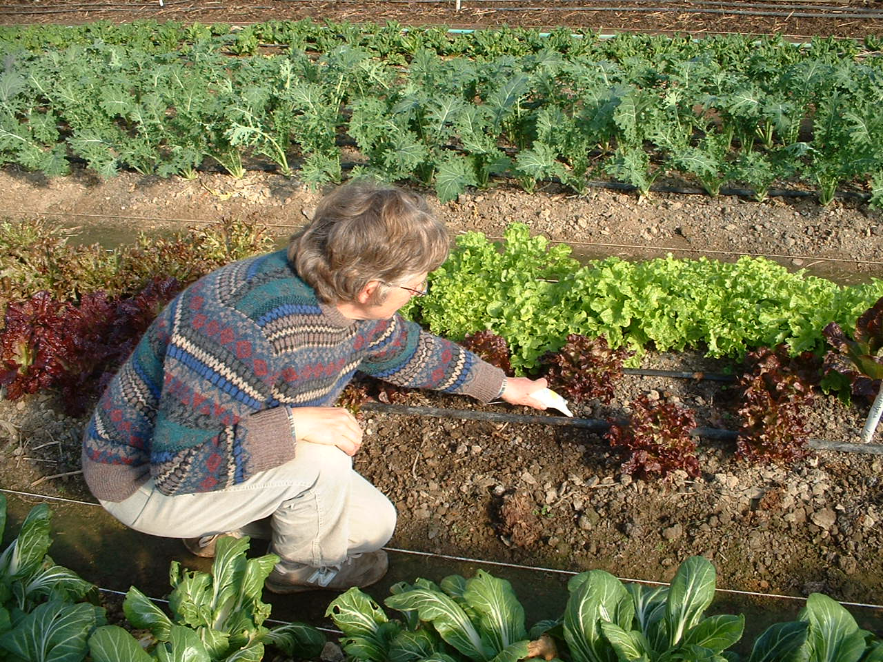 Cultivating lettuce in the hoophouse Photo McCune Porter