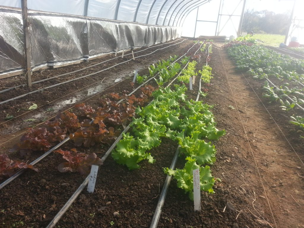 Late October Starfighter and Red Salad Bowl lettuce in our hoophouse. Photo Wren Vile