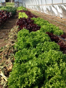 Hoophouse lettuce in winter at Twin Oaks. Photo Southern Exposure Seed Exchange
